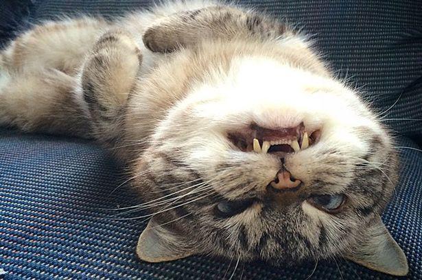 loki-the-cat